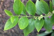 Leaves-of-Coral-Jasmine