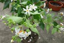 Small-Coral-Jasmine-plant