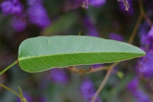 Close-view-of-Coral-pea-leaf