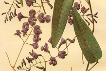 Illustration-of-Coral-pea