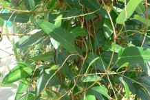 Leaves-of-Coral-pea
