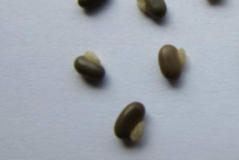 Seeds-of-Coral-pea