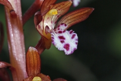 Flower-of-Coral-Root