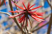 Flowering-buds-of-Coral-Tree