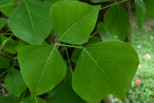 Leaves-of-Corel-tree