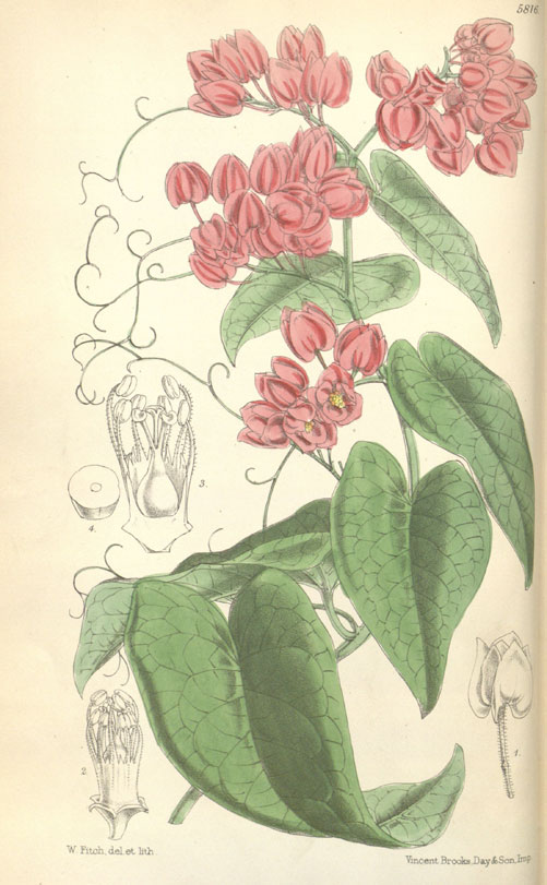 Plant-Illustration-of-Coral-Vine