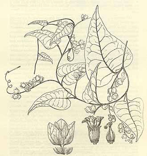 Sketch-of-Coral-Vine