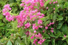 Coral-Vine-plant