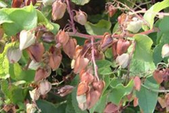 Immature-and-mature-fruit-enclosed-in-old-petals-of-Coral-Vine