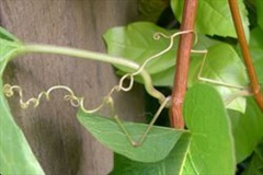 Woody-stems-and-coiled-tendrils-of-Coral-Vine