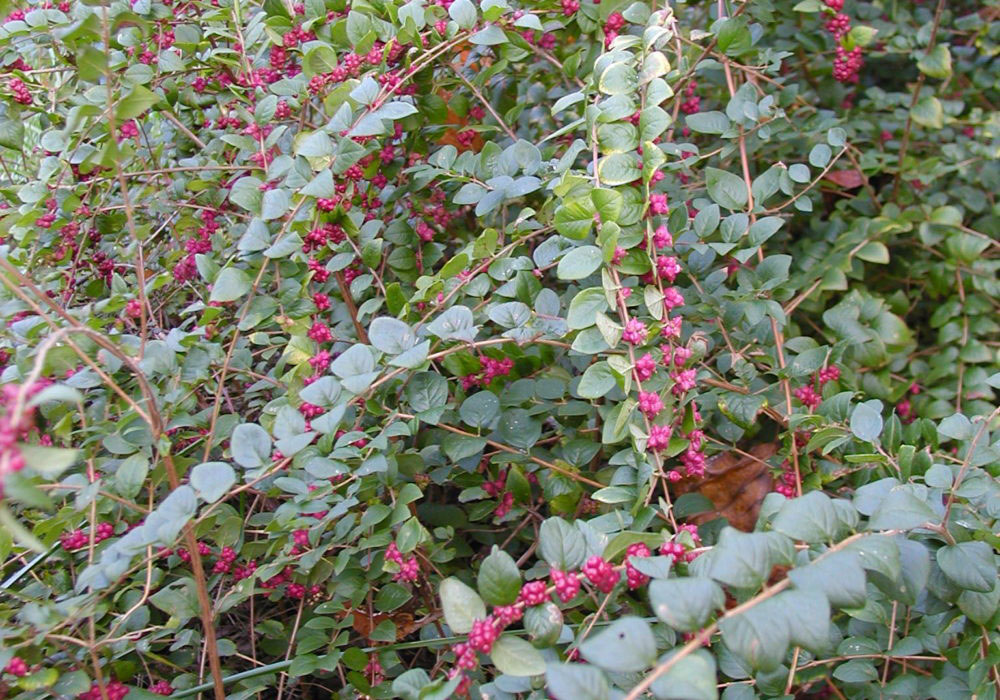Coralberry-plant-growing-wild
