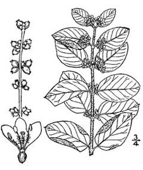 Sketch-of-Coralberry