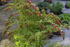 Coralberry-plant