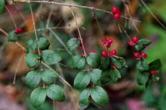 Leaves-of-Coralberry