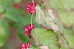 Mature-fruits-of-Coralberry