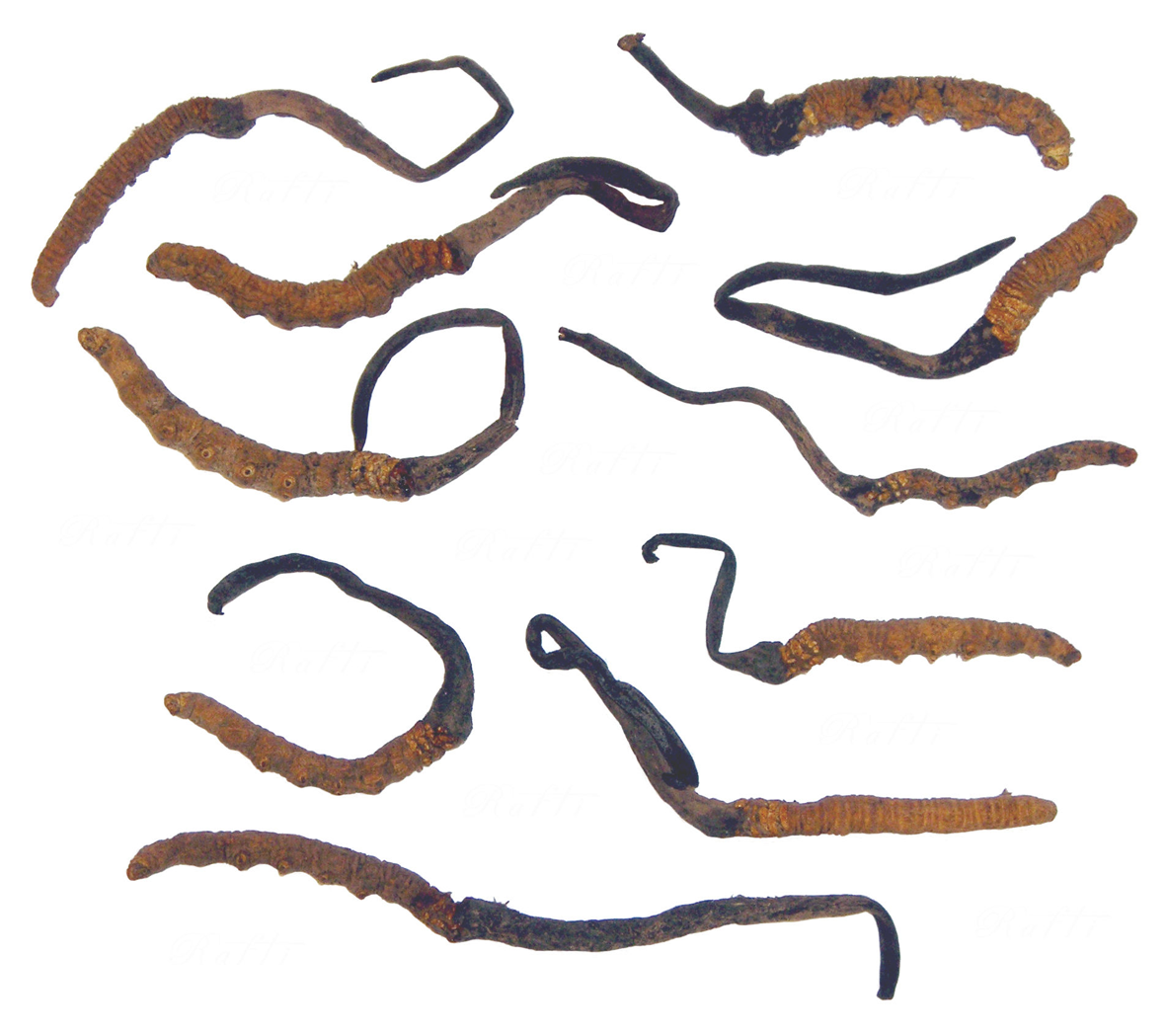 Cordyceps-collection
