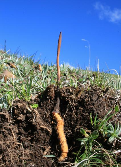 Cordyceps-growing