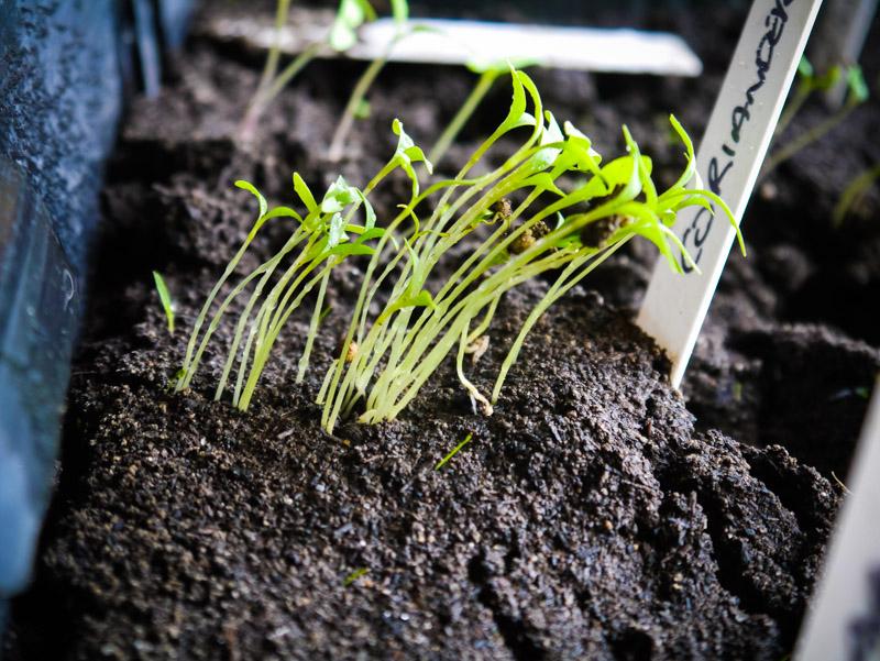 Coriander-seedlings