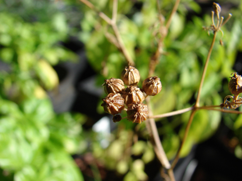 Dried-coriander-seeds