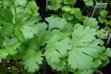 Leaves-of-Coriander