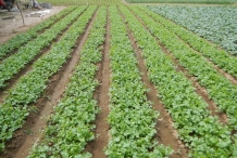 Coriander-farm