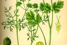 Plant-illustration-of-Coriander