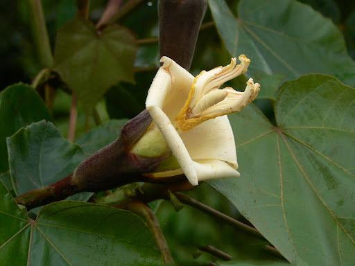 Flower-of-Corkwood