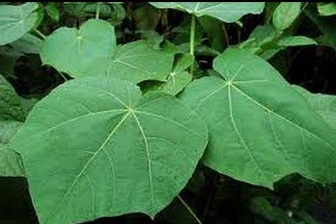 Leaves-of-Corkwood