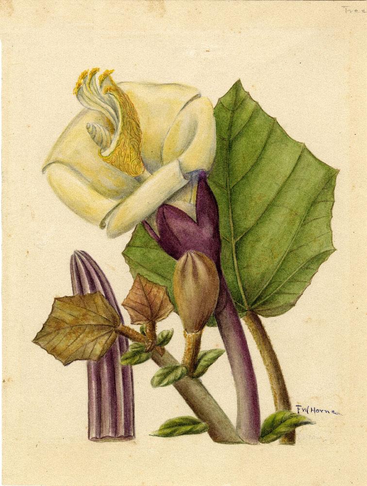 Plant-Illustration-of-Corkwood