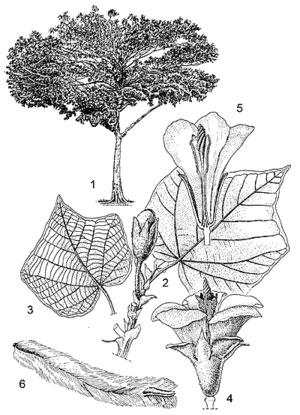 Sketch-of-Corkwood