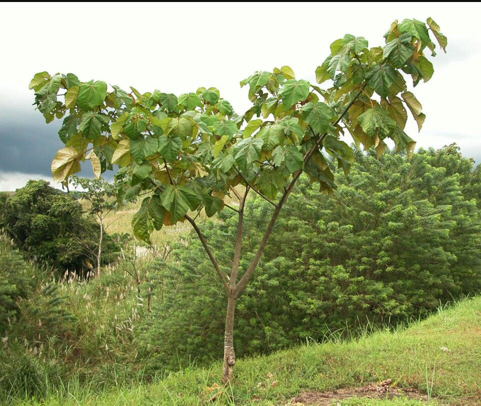 Small-Corkwood-Plant