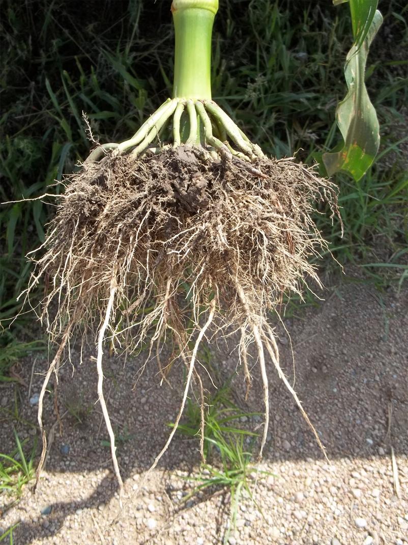 Corn-root