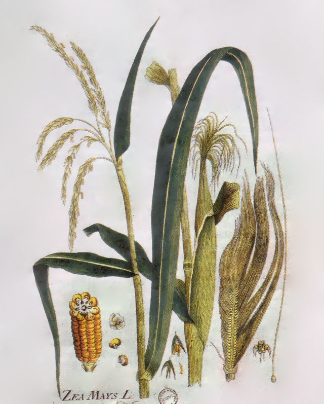 Plant-illustration-of-Corn