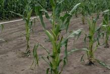 Corn-plant