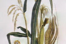 Plant-illustration-of-Corn