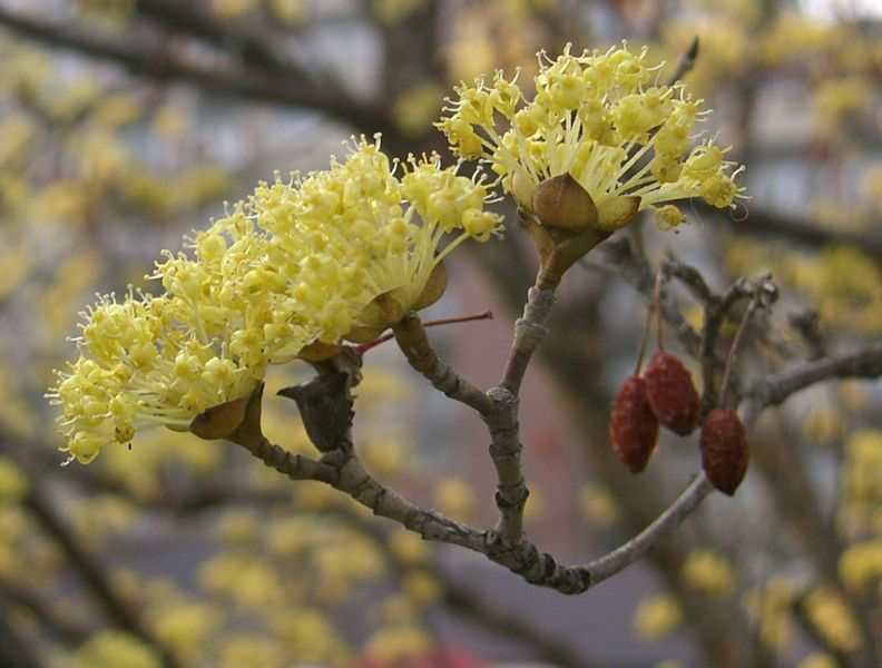 Flower-of-Cornelian-Cherry-plant