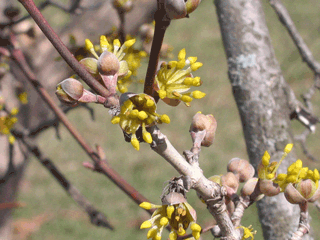Flowering-buds-of-Cornelian-Cherry-plant
