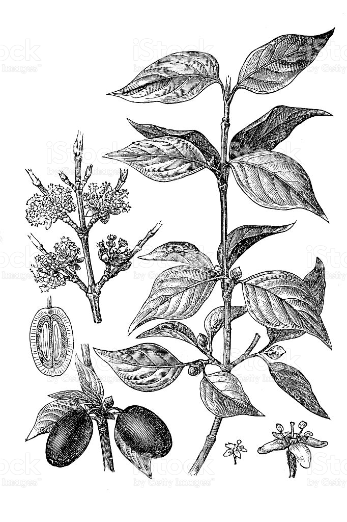 Sketch-of-Cornelian-Cherry-plant