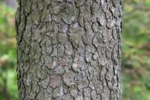 Bark-of-Cornelian-Cherry-plant