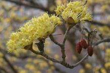 Flower-of-Cornelian-Cherry-plant