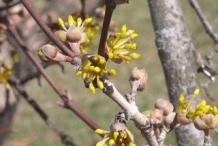 Flowering-buds-of-Cornelian-Cherry-plant