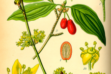 Illustration-of-Cornelian-Cherry-plant