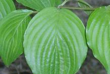 Leaves-of-Cornelian-Cherry-plant
