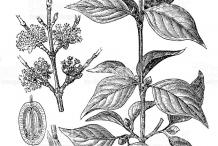 Sketch-of-Cornelian-Cherry-plant
