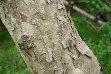 Trunk-of-Cornelian-Cherry-plant