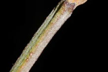 Twig-of-Cornelian-Cherry-plant