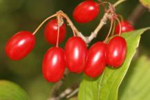 Cornelian-Cherry