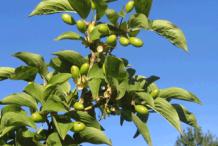 Green-Cornelian-Cherry