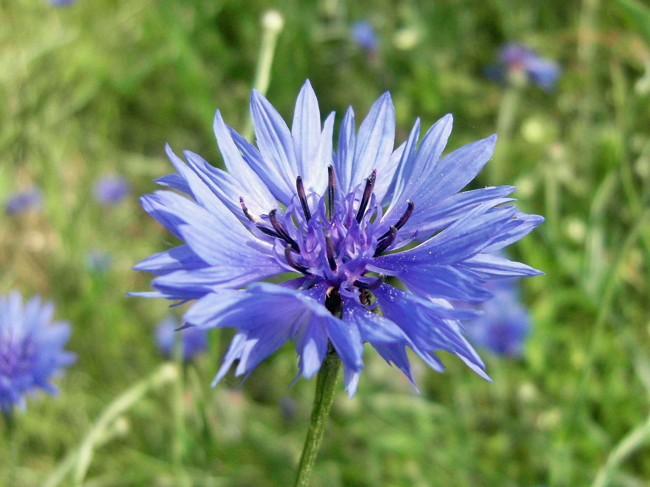 Close-view-of-Cornflower