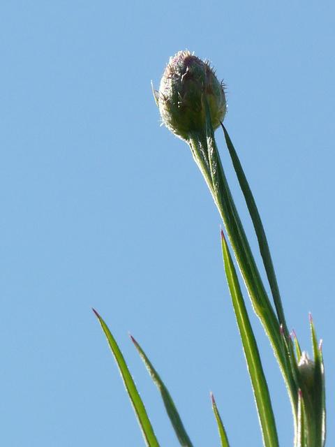 Cornflower-bud-and-stalk